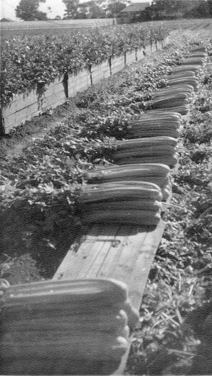 Ballantyne Family Veneto Market Gardeners 1927